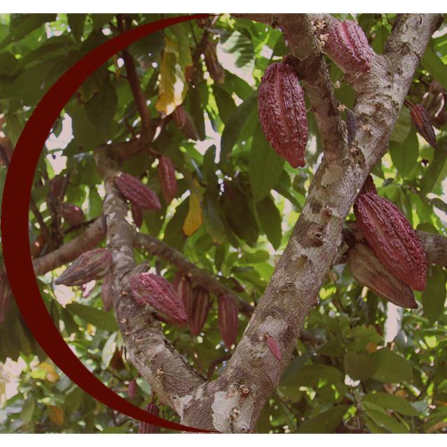 cacao-criollo-peruvian-harvest